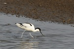 Pied Avocet (Recurvirostra avosetta)